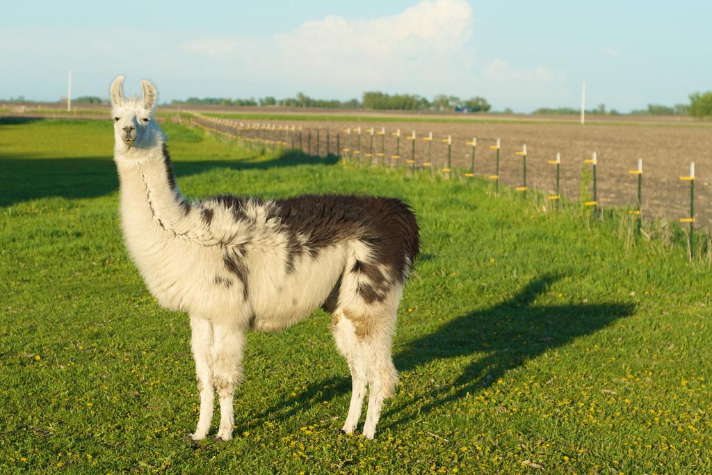 Cute Llama - Geeky Explorer