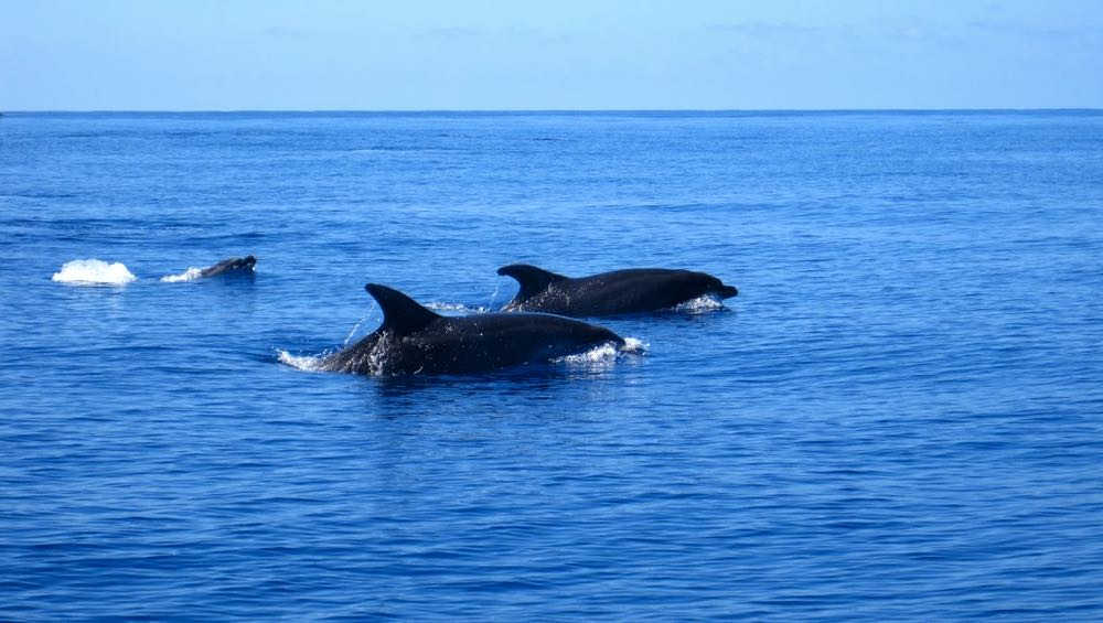 outdoor activities azores dolphin whale watching