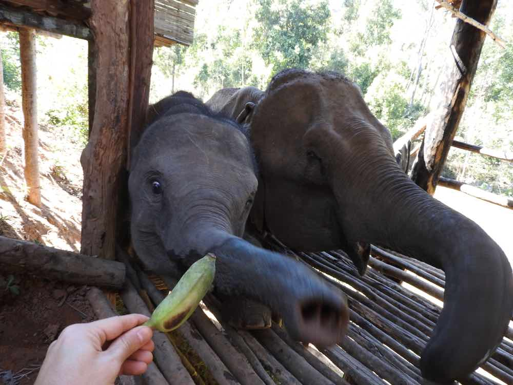 things to do in chiang mai elephant sanctuary