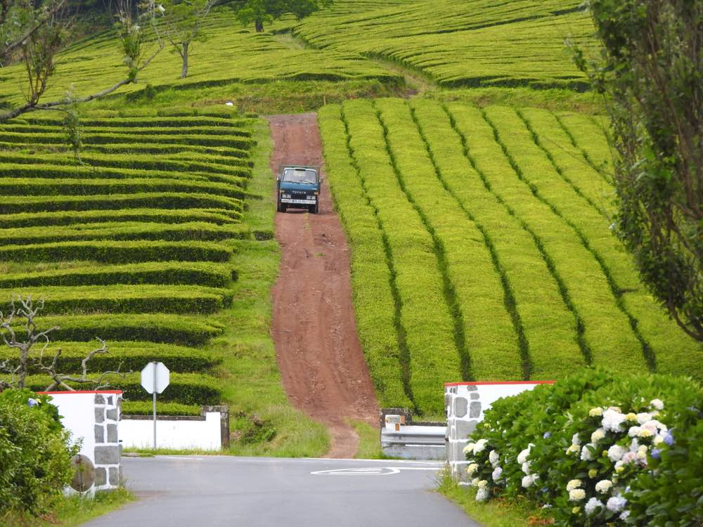 where to eat in sao miguel eating drinking tea gorreana