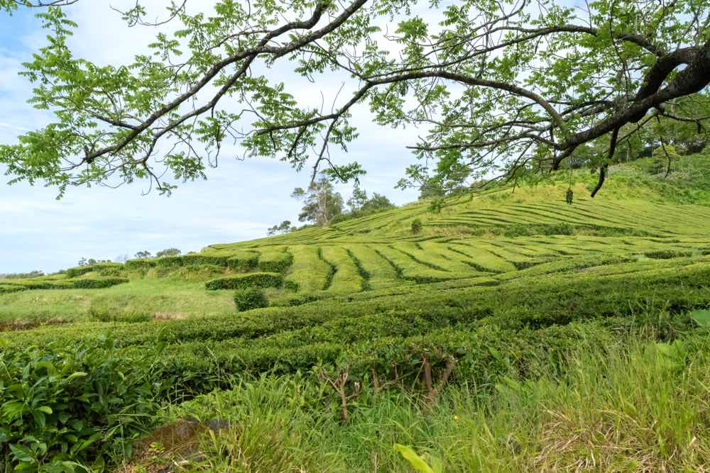azores travel tips things to know before trip azores tea estate