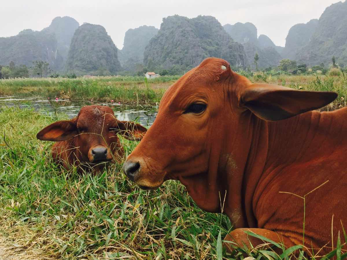 ninh binh travel guide cows rice fields