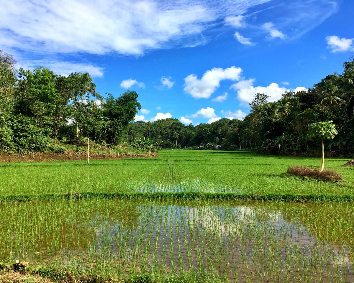 bohol philippines travel guide paddy rice fields