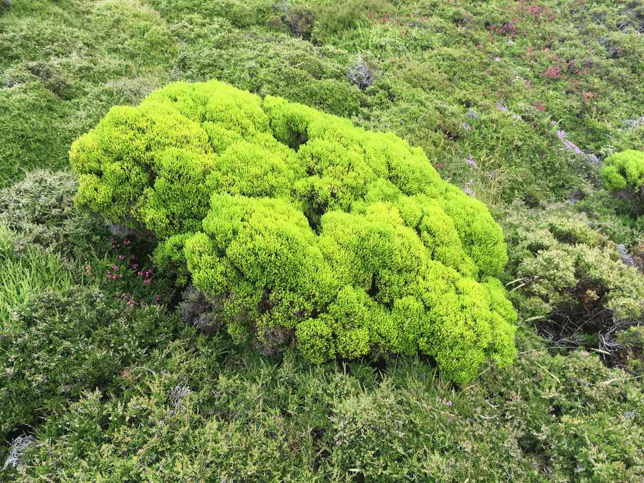 climb mount pico azores urze plant