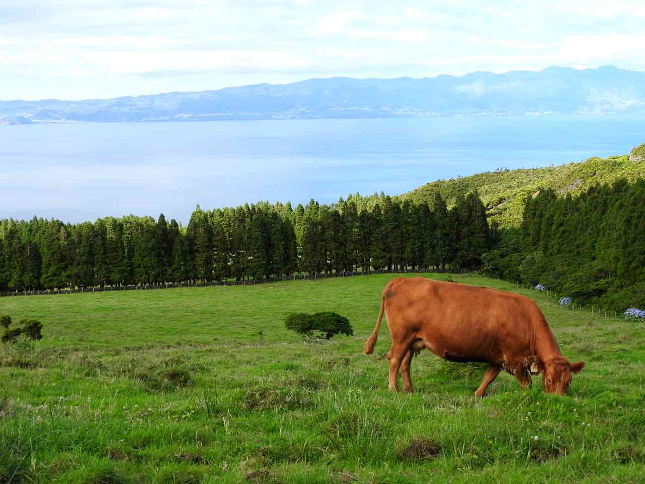 pico travel guide road cow meadow azores