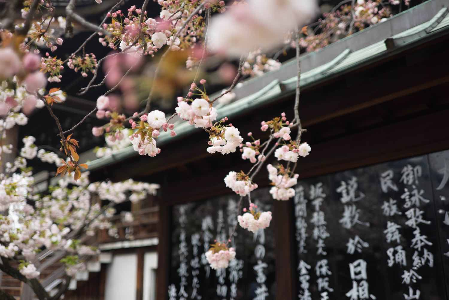 japan things to know sakura cherry blossom season