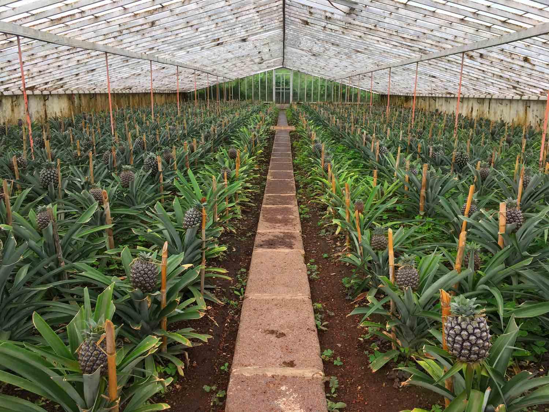 ponta delgada pineapple plantations arruda