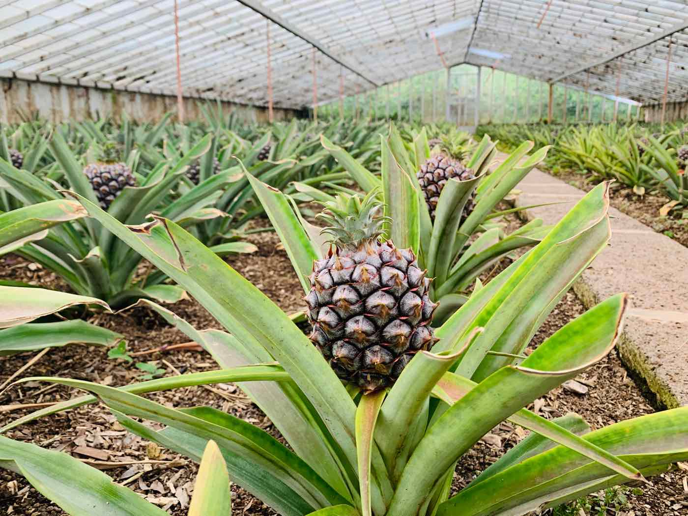 things to do in sao miguel azores pineapples plantations