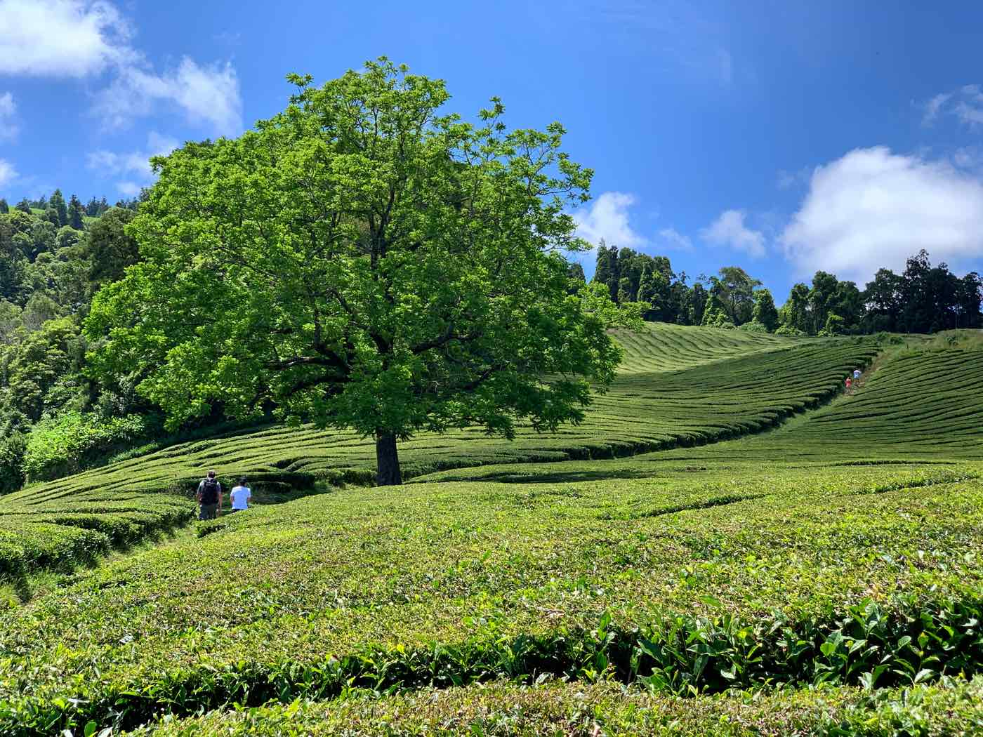 things to do in sao miguel azores tea plantations gorreana